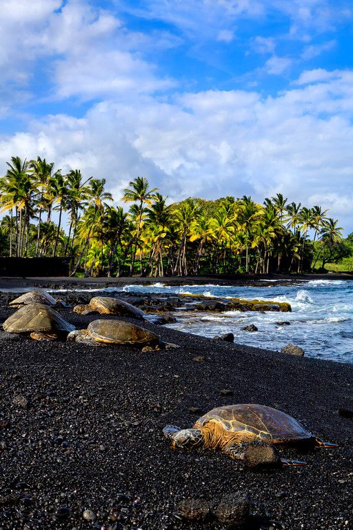 Turtles on Punaluu Black Sand Beach, The Big Island of #Hawaii