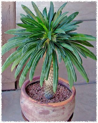 Madagascar Palm: It is a stem succulent and comes from the island Madagascar. I planted one in my succulent garden this weekend.