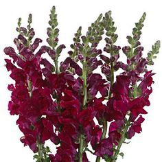 burgundy snapdragons - Google Search