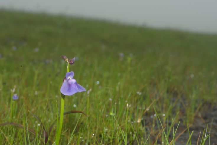 Kaas Plateau Flower's Special Outing >>>  Western Ghats as it is one of the most important biodiversity hotspots in the world. It holds amazing diversity of Flora and Fauna. But even among the entire stretch there are certain spots where you find amazing concentraion of flora.   #treks   #trekking  #Mahrashtra