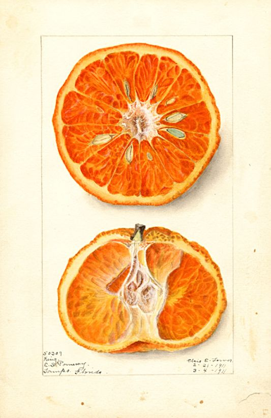 Elsie E. Lower, Citrus nobilis : King, 1911. Watercolor. Tampa, Florida. Digital collections of National Agricultural Library, USA.
