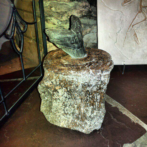 A megalodon tooth stuck in a whale vertebrae.