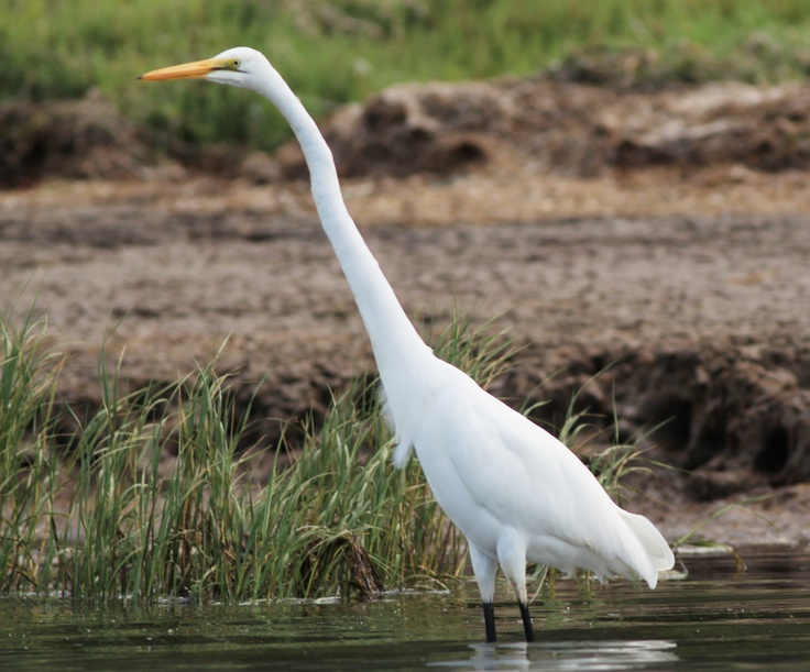 White herring bird - photo#15
