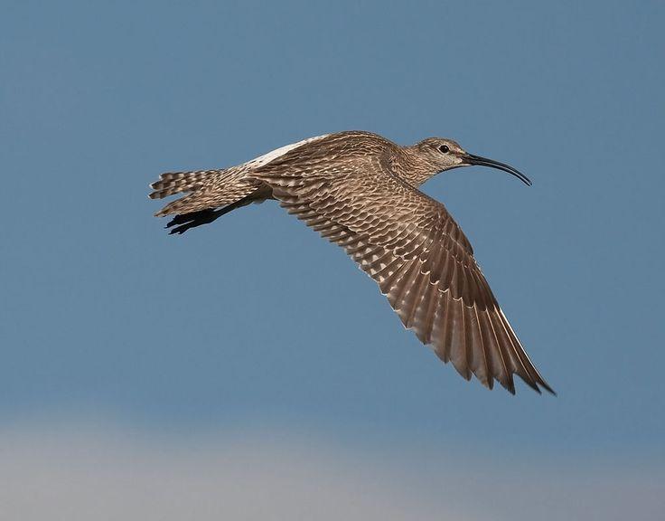 Zarapito trinador, Numenius phaeopus - Aves - NatureGate LuontoPortti6921.jpg (1022×800)