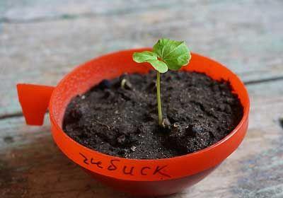 гибискус выращивание семенами  1