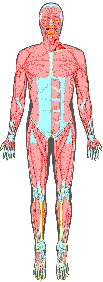 67 best images about ep on pinterest | massage, human anatomy and, Muscles