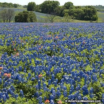 Texas Bluebonnet Seeds, Lupinus texensis - Wildflower Seed from American Meadows