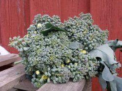 Broccoli ´ Piracicaba´ Överlägsen smak. Stora löst sammansatta huvuden, går snabbt i blom. Bildar sidoskott efter huvudskörd. Runåbergs, 30kr.