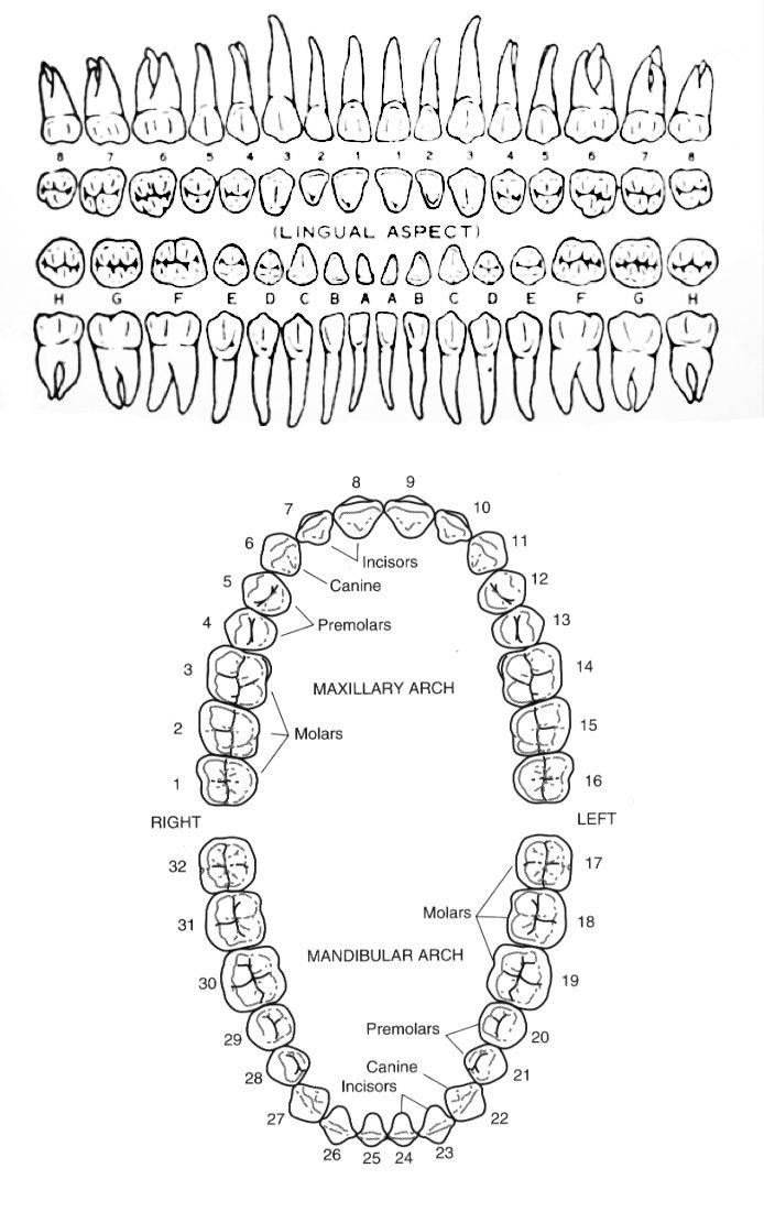 Картинка схемы зубов