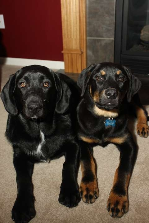 Rohan and Zeus - My boys, and my most favorite breed of all, The MUTT - I adopted them from Wayside Waifs in Kansas City, MO - Rohan is a Lab mix, while his brother, Zeus from another mother (and father, haha) is a Rottweiler/Shepherd mix - They are the best dogs ever!