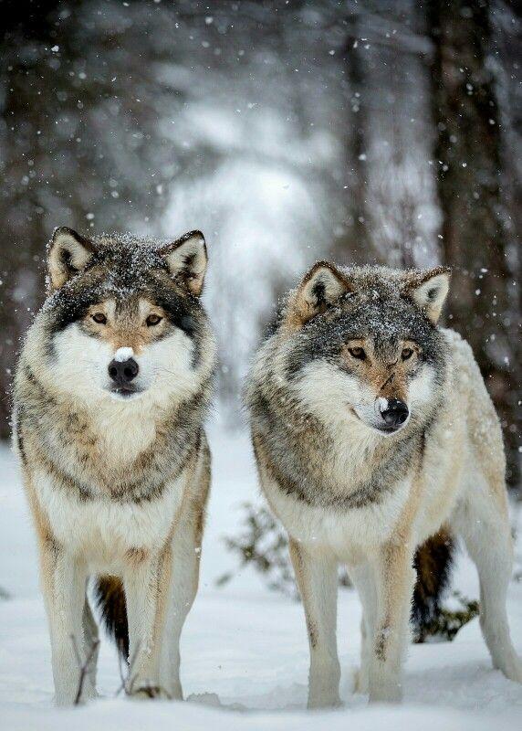 Wolves                                                                                                                                                                                 Mais