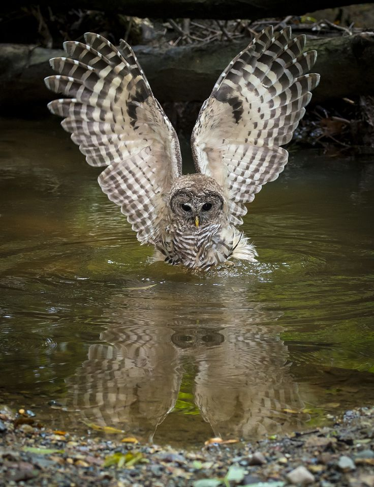 A Barred Owl will occasionally go into the water to prey on crayfish, frogs etc.