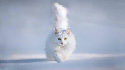 gato angora blanco ojos azules