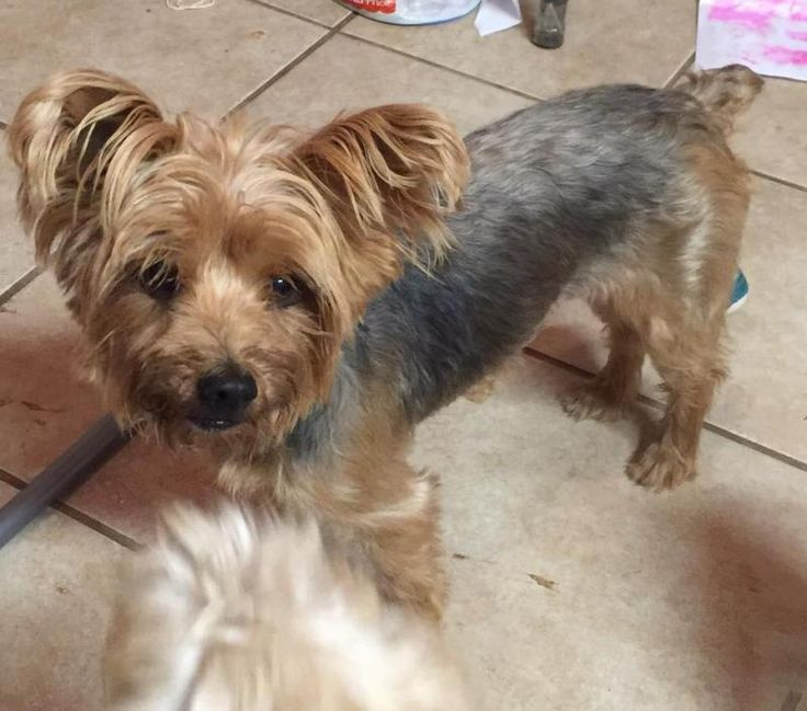 Adopt gracie on yorkie puppy yorkshire terrier yorkie