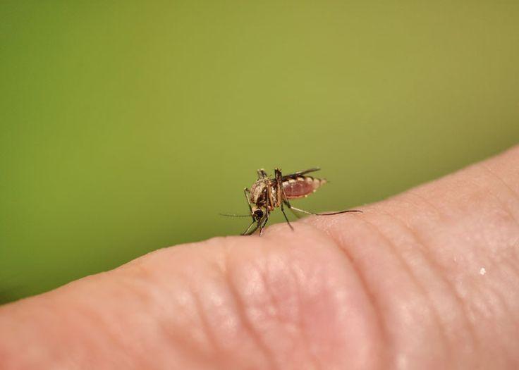 """Als een mug je huid doorboort, blijft er muggenspeeksel in je huid achter. Een muggenbeet veroorzaakt zodoende een bult op de huid die ook wel 'muggenbult' of 'galbult' wordt genoemd. De behandeling van """"niet-allergische"""" muggenbulten is relatief eenvoudig. In dit artikel bespreken we hoe je een muggenbult kunt behandelen"""