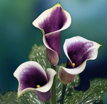 Probably too $$$ Calla Lilies Purple Cream Picasso Long