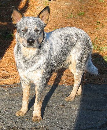 "This is my number one Dog breed , our baby ""Max"" is  Blue Heeler one of the most intelligent dogs!!"
