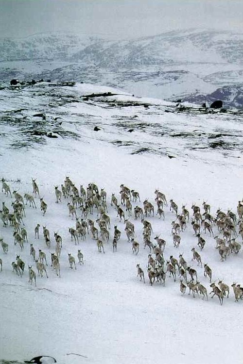 vintagenatgeographic: Herd of caribou in Labrador, Canada National Geographic | October 1993      www.GetIntoShift.com