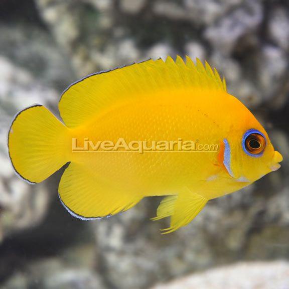 Fijian Lemon Peel Angelfish Marine Fish Aquarium Fish Fish Pet
