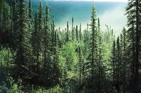 boreal forest - Google Search
