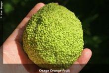 "You may know it by its slang names: ""Monkey Brain Tree"" or ""Hedge Apple"" - but do you really know Osage Orange?  Woody - Osage-Orange (Maclura pomifera)   Buckeye Yard & Garden onLine"