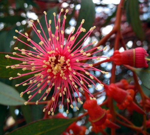 The Coral Gum Eucalyptus blooms with groups of enormous red flowers tipped in yellow. This spectacular garden plant is very fast growing and drought resistant, and it attracts birds. It can even be gr