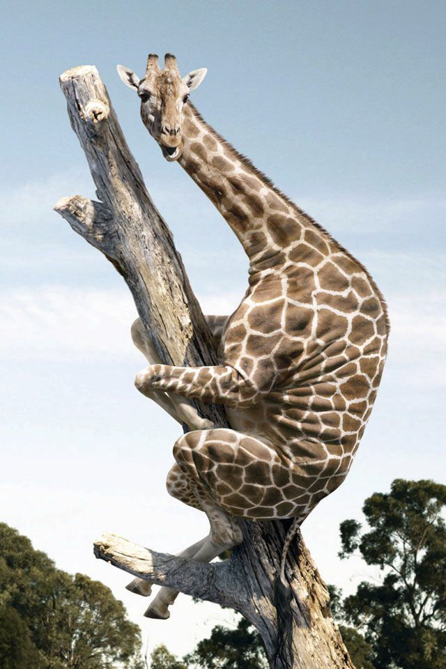 I have no idea how that giraffe got on top of that tree and I don't even want to know
