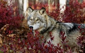 wolf, view, Plants, leaves