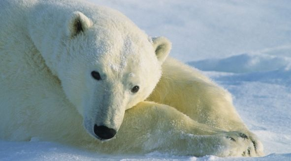 Polar Bears have clear fur that appears white because it reflects the white light of the snow. Polar bears have black skin under which there is a layer of fat that can be up to 4.5 inches thick. The paws of polar bears are perfect for roaming. When swimming, forepaws act like large paddles and hind paws serve as rudders. Polar bears main prey is the ringed seal.