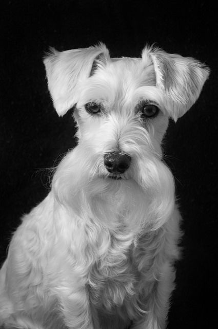 178 best images about my miniature schnauzer on pinterest black schnauzer schnauzer puppy and. Black Bedroom Furniture Sets. Home Design Ideas