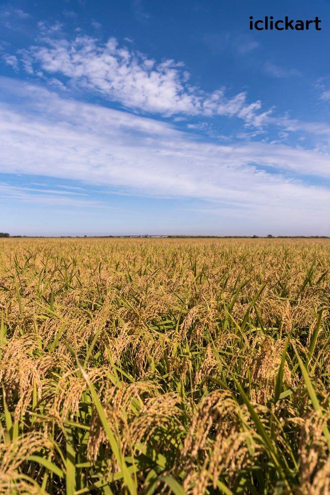 #논 #밭 #벼 #추수 #가을 #포토 #사진 #엔파인 #아이클릭아트  #rice #paddy #fall #photo #harverst #npine #iclickart #korea