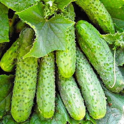 Огурцы-удальцы: лучшие сорта и секреты высоких урожаев | Полезные статьи на блоге Беккер