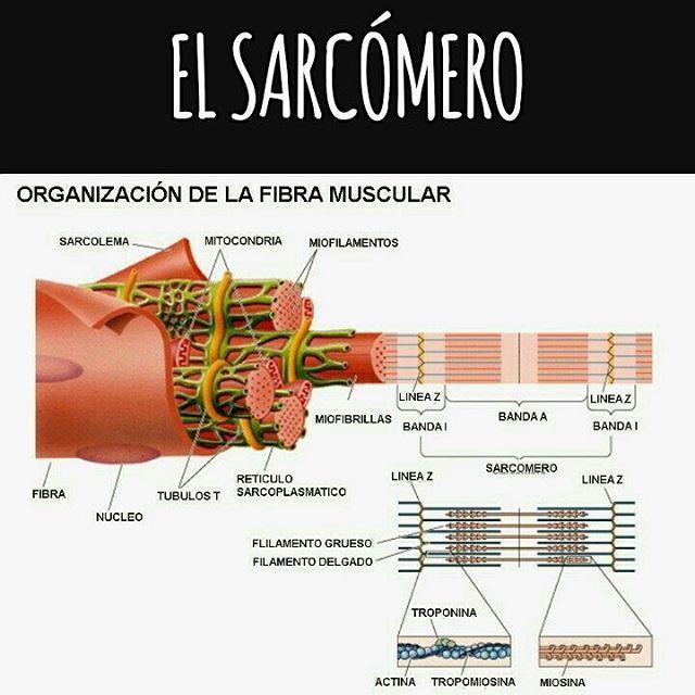 El sarcómero es la unidad y funcional (más pequeña) del músculo estriado. Se encuentra limitado por dos líneas Z. Está formado por actina y miosina. La contracción del músculo consiste en el deslizamiento de los miofilamentos finos de actina sobre los miofilamentos de miosina (miofilamentos gruesos), todo esto regulado por la intervención nerviosa y la participación del calcio.