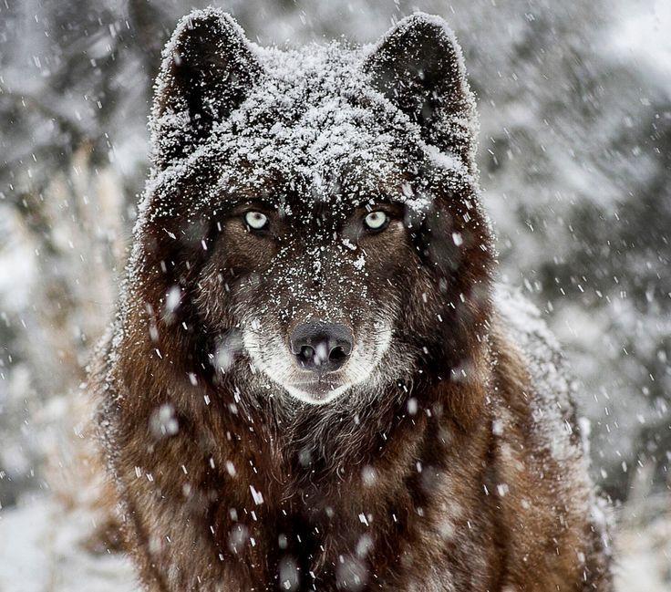 Pin Von Bones 4life Auf Wolves Schwarze Wolfe Wolf Hunde Und Husky Hund
