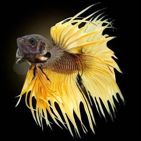 Mustard Crown Betta Fish | mustard gas betta fish reproduction betta splendens betta fighting ...