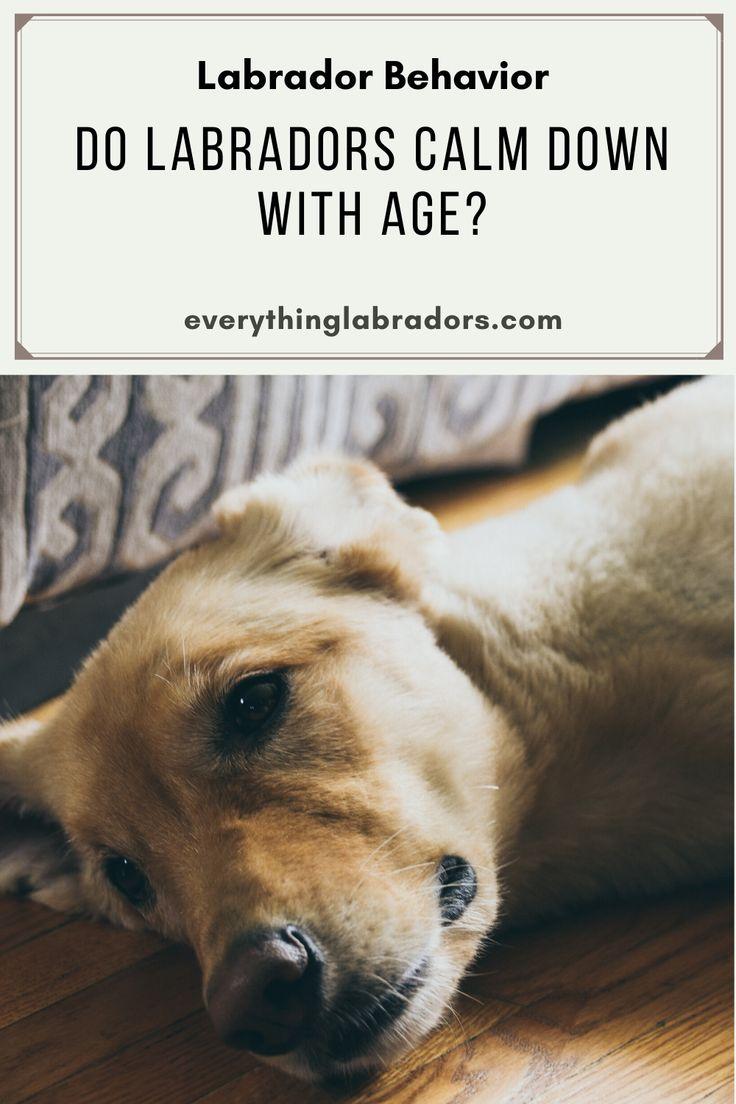 Do labradors calm down with age in 2020 labrador calm