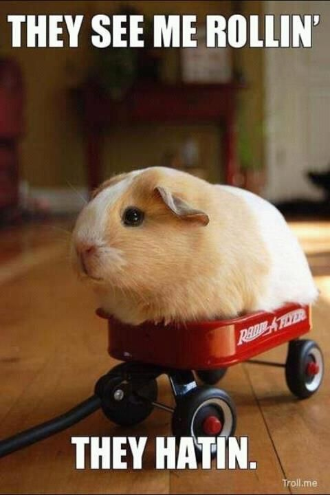 awesomeRollins, Funny Things, Laugh, Funny Stuff, Humor, Ridin Dirty, Hatin, Animal, Guinea Pigs