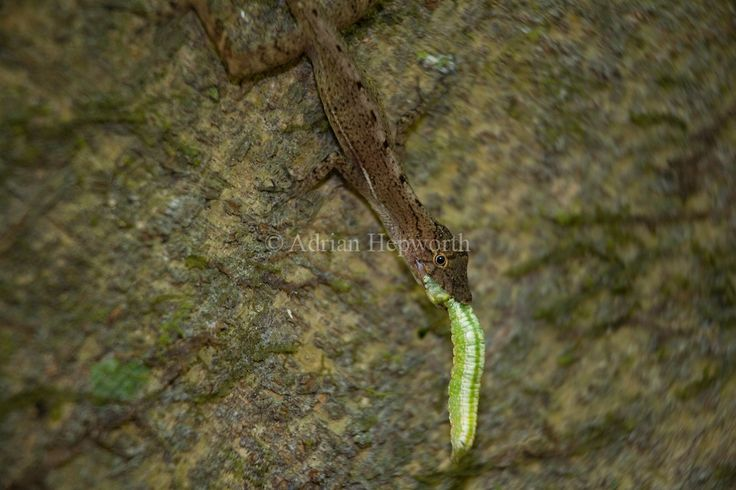 Golfo Dulce Anole Lizard (Norops polylepis) eating caterpillar. Corcovado National Park, Osa Peninsula, Costa Rica. Endemic to south west Costa Rica.<br /> <br /> For pricing click on ADD TO CART (above). We accept payments via PayPal.