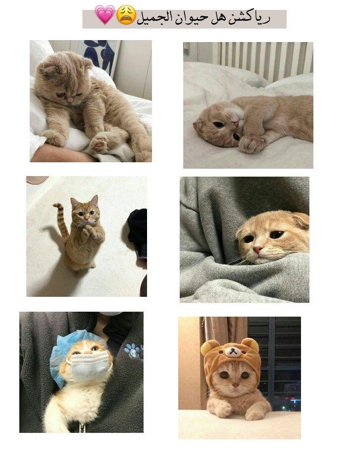 افتار افتارات رياكشن خيل احاسيس مخطوطات رمزيات بنات كيوت ستوري ملصقات كتابات سنابات قطط Beautiful Cats Animals Teddy Bear