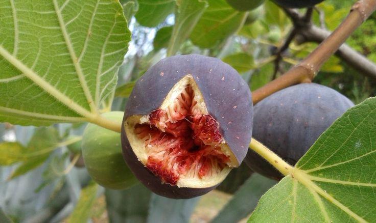 Le Figuier (ficus carira) est un arbre fruitier à délicieux fruits sucrés : découvrez comment bien le planter et le tailler