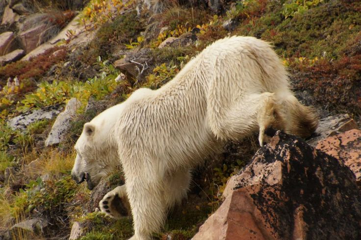 Polar Bear on land in the summer when the sun shines for 18 to 24 hours.