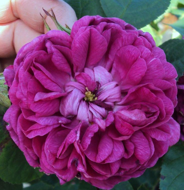 Historische Rose Rose de Resht - Herkunft Persien, Markteinführung 1950