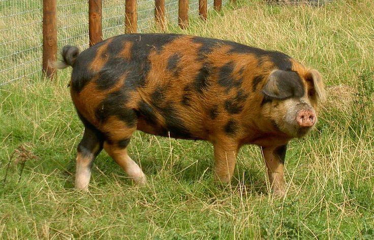 Oxford Sandy and Black Pig