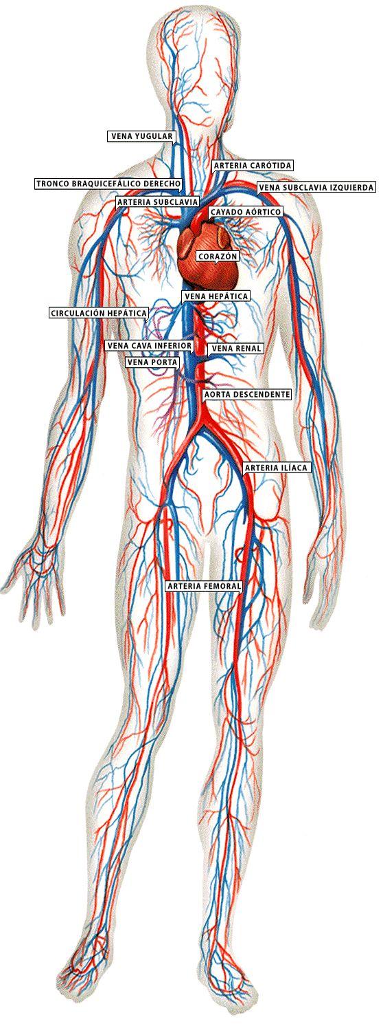 25 best Anatomía & Fisiología images on Pinterest | Human body ...