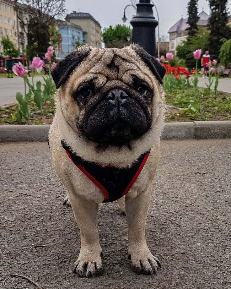 The moment you realize you've been stood up  #mauricethepug #stoodup #disappointed #heartbroken #inlove #springlove #love #spring #pugchat #puglife #pug #dog #puppy #mops