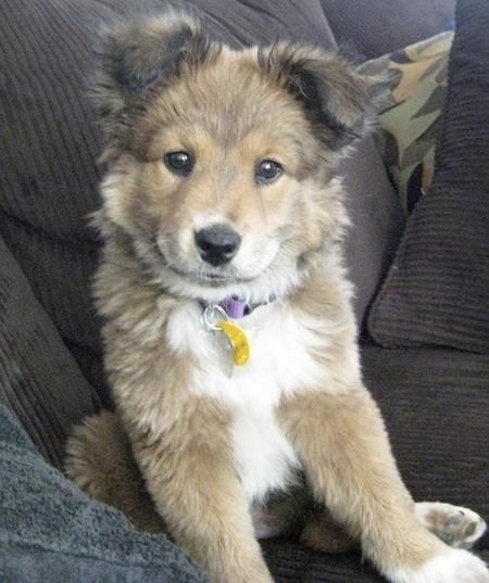 Golden retriever husky puppy! Who knew this was a thing? SO CUTE!!