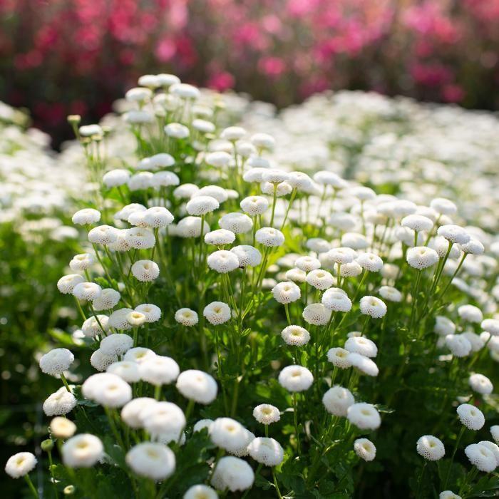 Feverfew Vegmo Snowball In 2020 Feverfew Plant Flower Farm Feverfew