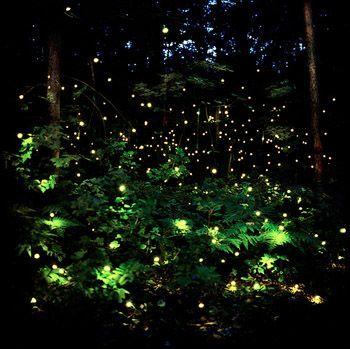 Summer Fireflies.: Fairie, Lights, Fireflies, Nature, Barry Underwood, Art, Forest, Lightning Bugs, Photo