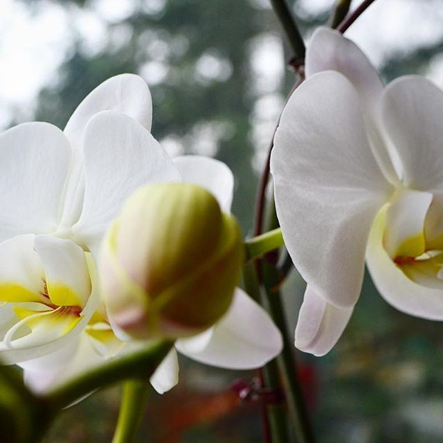 There are about thirty thousand species of orchids in the world, and they're all slightly different. The practice of cultivating orchids has fascinated gardeners for centuries, because although they can be finicky, and demanding, caring for them means getting to enjoy one of the most exotic plants in nature right before your very eyes  . . .