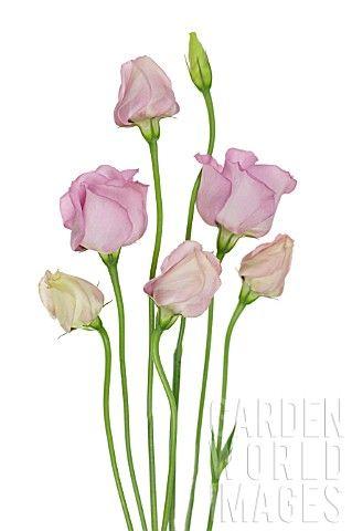 Love growing #Lisianthus - EUSTOMA_LISIANTHUS #botanical #illustration #flowers